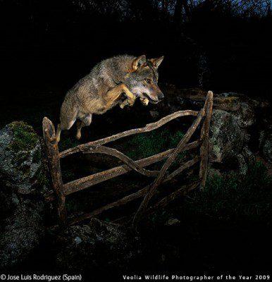 José Luis Rodríguez's, Leaping Wolf