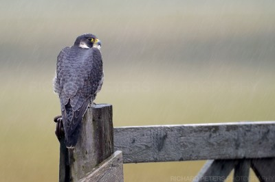 Peregrine Falcon in the rain