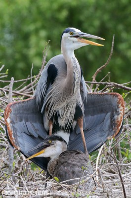 Photographing Juvenile Great Blue Heron >> Great Blue Heron With Juvenile Sunning Behaviour Richard Peters