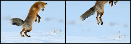 Red Fox begins to pounce
