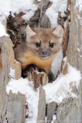 A Pine Marten pops his head up from the hollow of a snow covered tree stump in Yellowstone National park.
