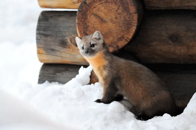 A Pine Marten pops out from under a log cabin in Yellowstone National park