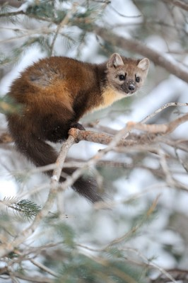 A Pine Marten sits in a tree in Yellowstone National Park