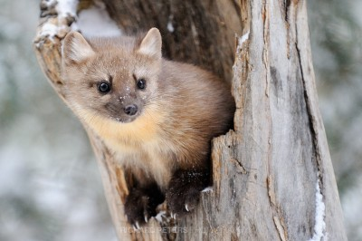 A Pine Marten pops out the hollow of a an old tree stump in Yellowstone National park.