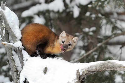 A Pine Marten licks his lips atop a snow covered old tree, in Yellowstone National park.