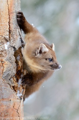 A Pine Marten clings to the side of a tree in Yellowstone National Park in winter. Nikon D7000, 70-200 + 1.4 (ISO 1600, no NR)
