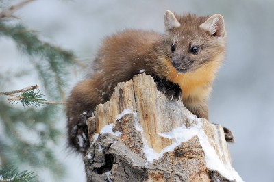 A Pine Marten sits on the top of an old tree stump in Yellowstone National Park.