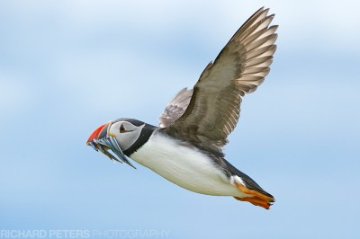 A puffin in flight, with a beak full of sand eels for the young. Farne Islands, Northumberland