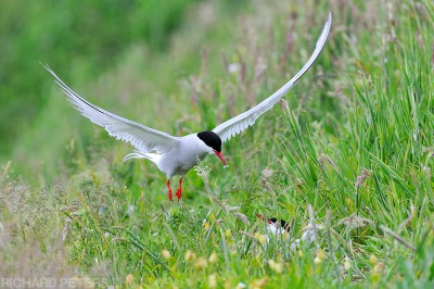 Nesting Arctic Terns on the Farne Island will bring stickleback fish in to feed the chicks.