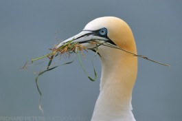 Gannet with nesting material at Bempton Cliffs RSPB reserve.