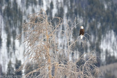 A bald eagle sits high atop a bare tree in Yellowstone National Park in winter.