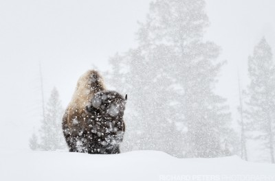 A bison battles a passing blizzard in Yellowstone National Park.