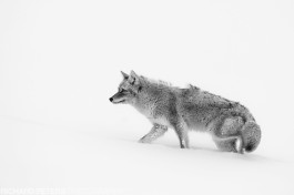 A coyote battles the wind and snow covered floor in Yellowstone National Park