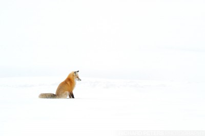 A red fox sits and listens for mice under the snow in Yellowstone National park.