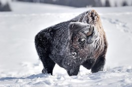A frost covered bison stands up to the harsh Yellowstone winter