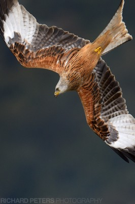 A red kite preparing to dive out the sky in The Chilterns. Nikon D4, 600 VR, 1/3200, f5.6, ISO 1400