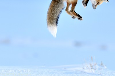 Snow Pounce, Commended, Wildlife Photographer of the Year 2012