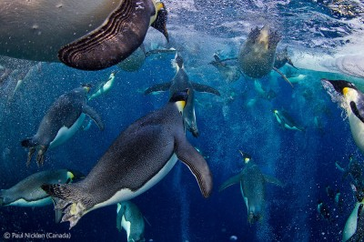 Wildlife Photographer of the Year 2012. Paul Nicklen