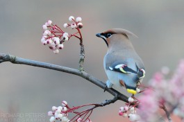 Waxwing in search of berries