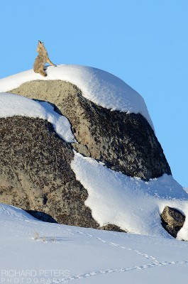 Call of the Coyote. A coyote howls from atop a snow covered rock in Yellowstone National Park