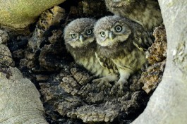 The Three Stooges, highly commended in the 2013 British Wildlife Photography Awards