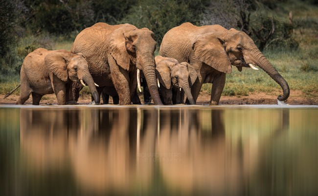 Family Life. A herd of elephants drinking from a water hole, Laikipia, Kenya.